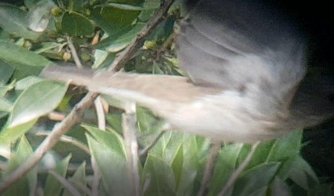 Balearic Spotted Flycatcher  - Xavier Parra Cuenca
