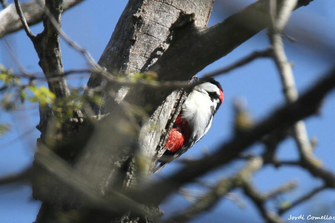 Great Spotted Woodpecker  - Jordi Comellas Novell