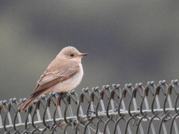 Balearic Spotted Flycatcher  - Carlos Alvarez-Cros