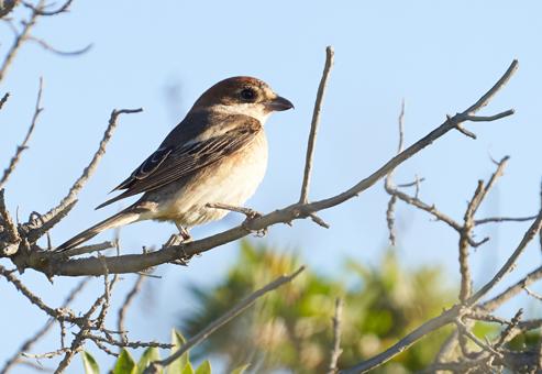 Woodchat Shrike (L.s.badius)  - Jordi Jover Garcia