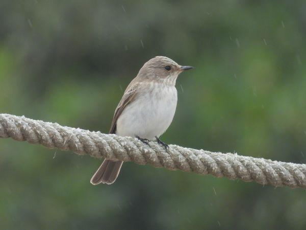 Balearic Spotted Flycatcher  - Ramon Ruiz-Jarillo