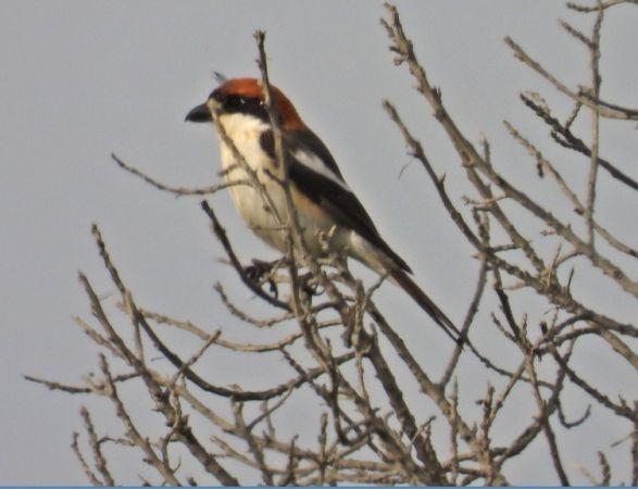 Woodchat Shrike (L.s.badius)  - Ramon Ruiz-Jarillo