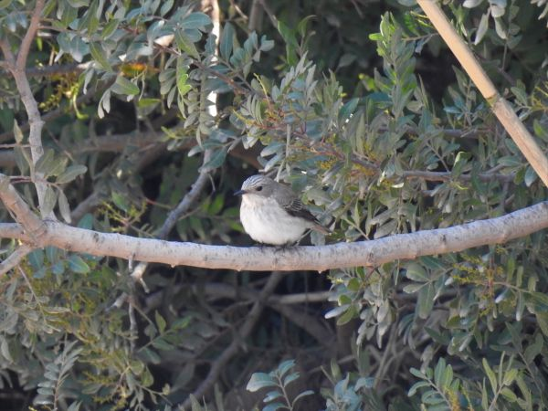 Balearic Spotted Flycatcher  - Eric Mozas