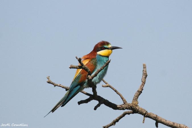 European Bee-eater  - Jordi Comellas Novell