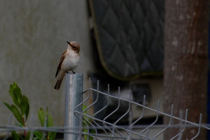 Balearic Spotted Flycatcher  - Anna Sais