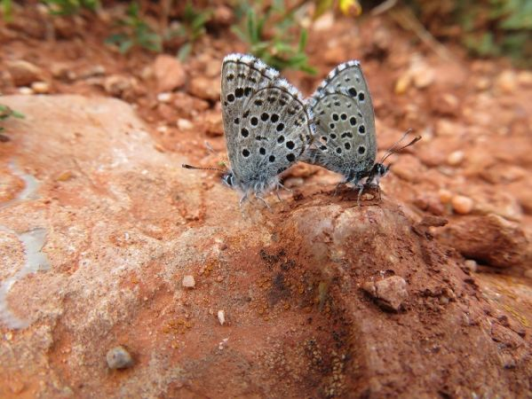 Pseudophilotes panoptes  - Josep Planes