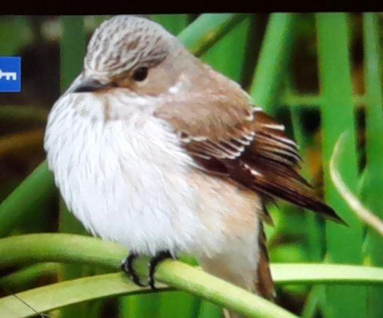 Balearic Spotted Flycatcher  - Fran Trabalon