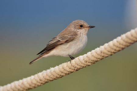 Balearic Spotted Flycatcher  - Guillem Mayor Samarra
