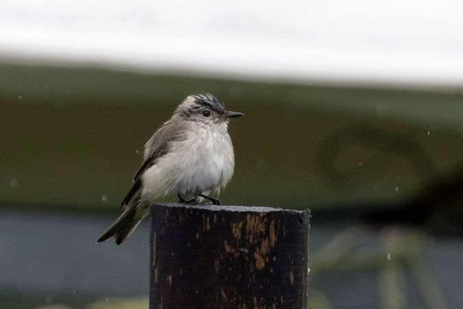 Balearic Spotted Flycatcher  - Miguel Angel Fuentes