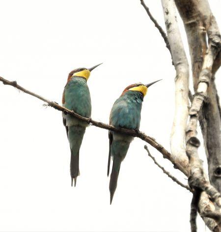 European Bee-eater  - Joan Safont