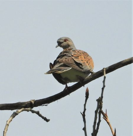 European Turtle Dove  - Joan Safont