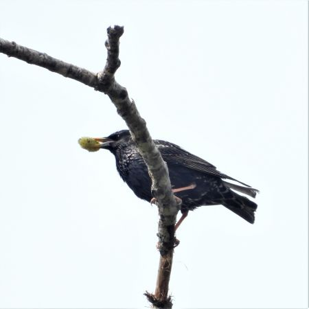 Common Starling  - Joan Safont