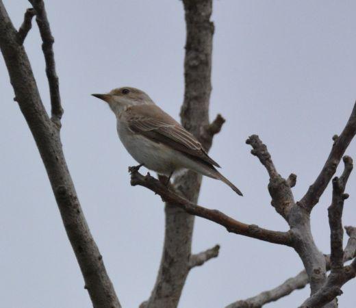Balearic Spotted Flycatcher  - Ángel Luceño