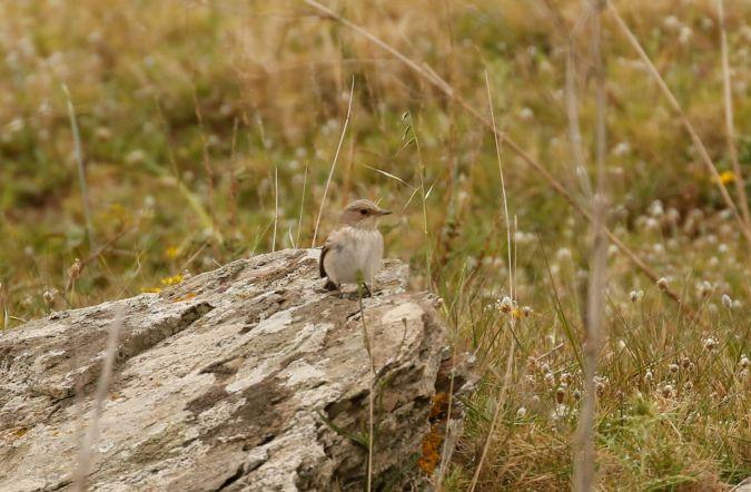Balearic Spotted Flycatcher  - Gerard Dalmau