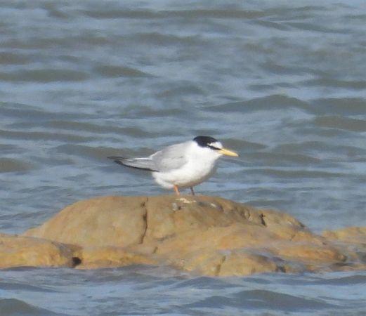 Little Tern  - Eulàlia Maspons