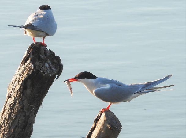 Common Tern  - Eulàlia Maspons