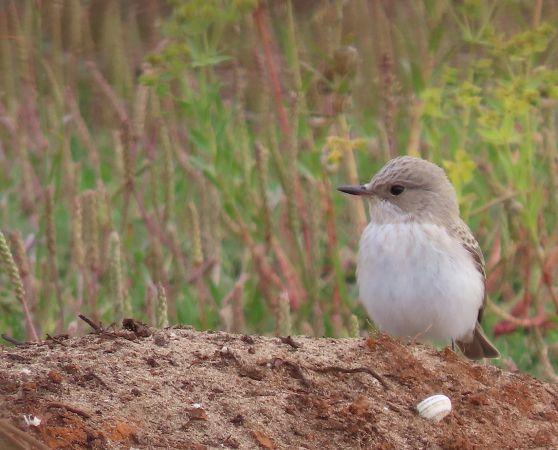 Balearic Spotted Flycatcher  - Joan I. Barrachina