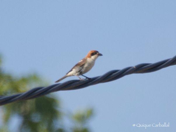 Woodchat Shrike (L.s.badius)  - Manuel Enrique Carballal Del Valle