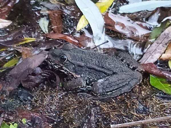 Perez's Frog  - Daniel González