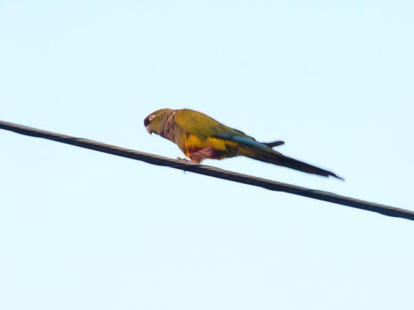 Burrowing Parakeet  - Ramon Ruiz-Jarillo