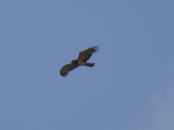 Short-toed Snake Eagle  - Roger Fornos