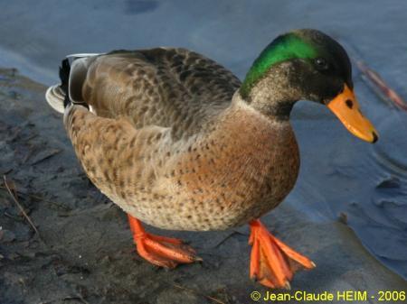 Domestic Duck  - Jean-Claude Heim