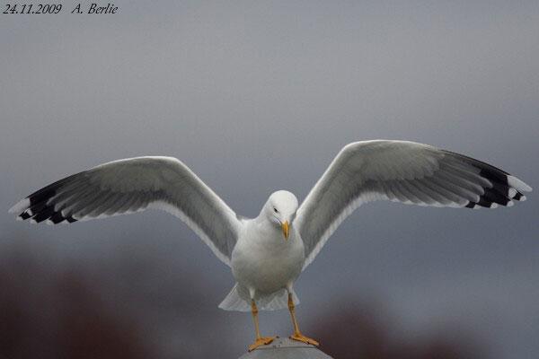 Yellow-legged Gull  - Berlie Arlette