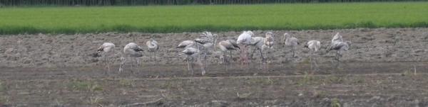 Greater Flamingo  - Matthias Breier