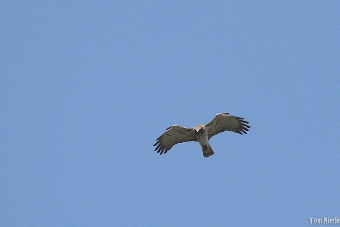 Short-toed Snake-eagle  - Thomas Nierle