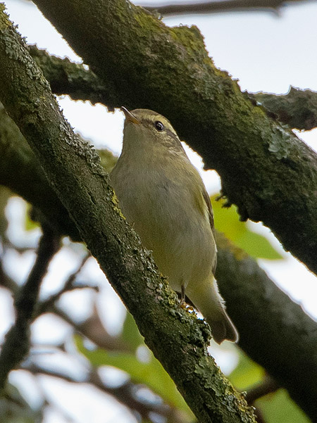 Yellow-browed Warbler  - Bernhard & Edith Herzog