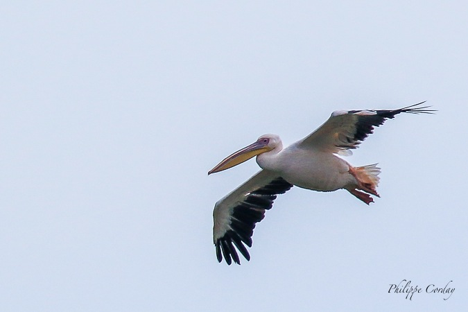 Great White Pelican  - Philippe Corday