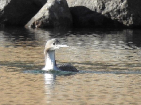 Pacific Loon  - Wh Thomas Wehrli
