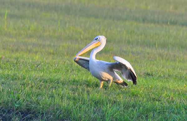 Pink-backed Pelican  - Bert Stankowski