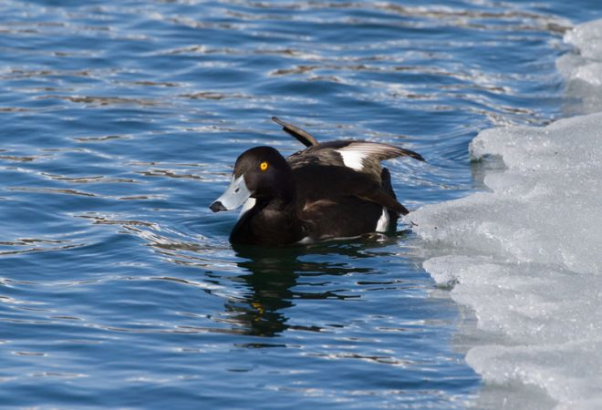 Tufted Duck  - Roberto Brembilla