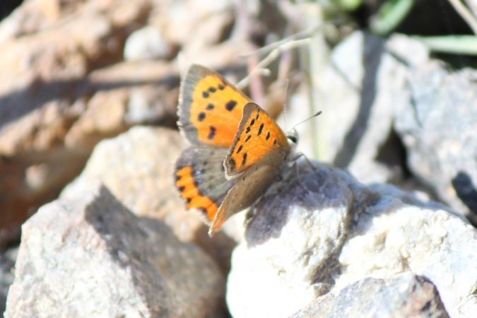 Small Copper  - Matteo Cuna