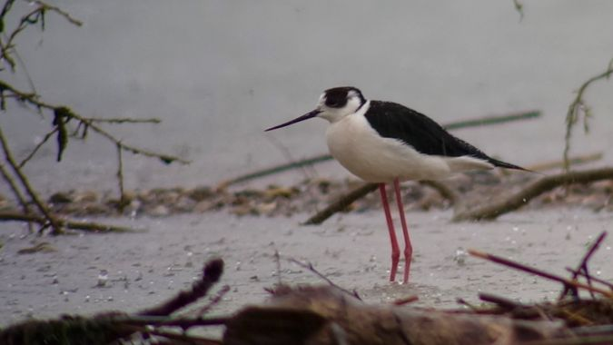 Black-winged Stilt  - Werner Eberhard