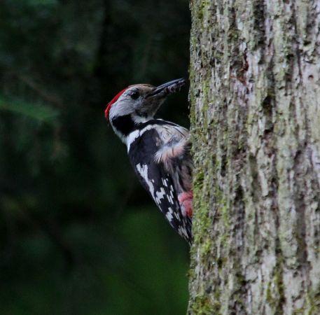 Middle Spotted Woodpecker  - Markus Schuhmacher