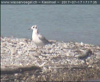 Common Black-headed Gull  - Kurt Anderegg