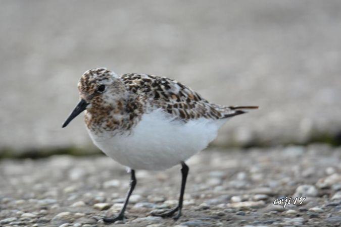 Bécasseau sanderling  - Roger Jeanfavre