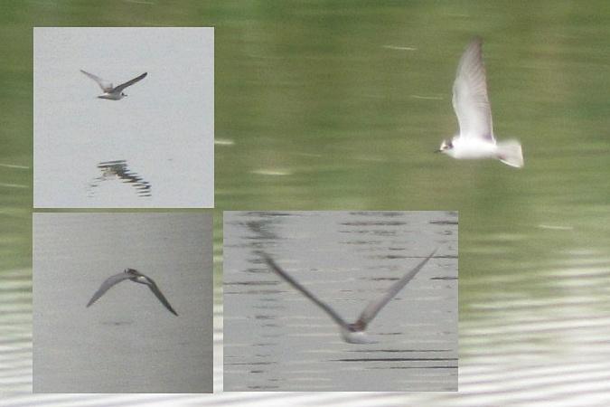 White-winged Tern  - Hannes Klopfenstein