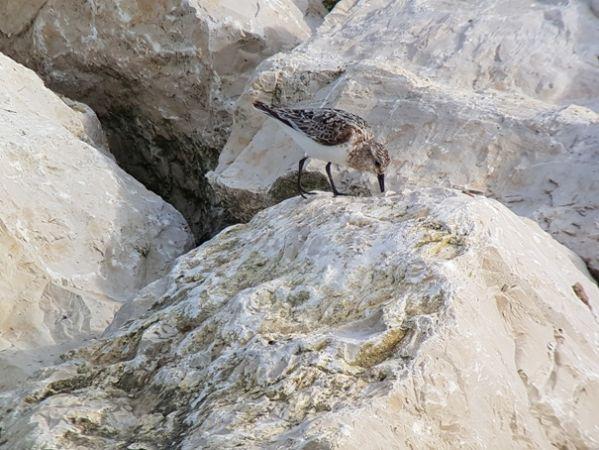 Bécasseau sanderling  - Verena Döbelin