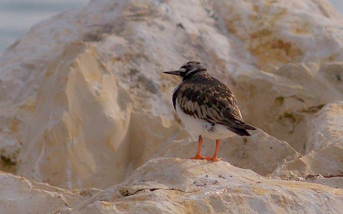 Ruddy Turnstone  - Willy Daeppen