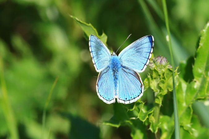 Azuré bleu-céleste  - Frédéric Jaquier