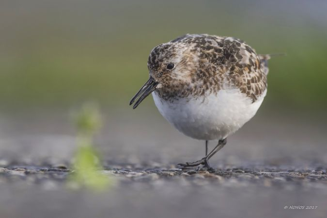 Bécasseau sanderling  - Philippe Noverraz