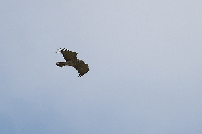 Short-toed Snake Eagle  - Vasco Gonçalves-Matoso