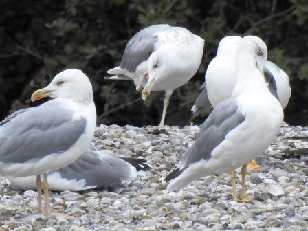 Caspian Gull  - Kurt Anderegg