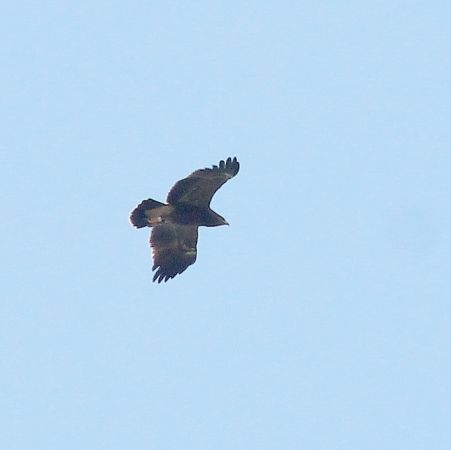 Lesser Spotted Eagle  - Markus Schuhmacher