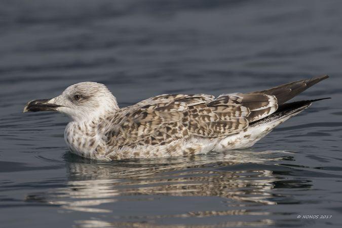 Yellow-legged Gull  - Philippe Noverraz