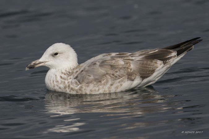 Caspian Gull  - Philippe Noverraz