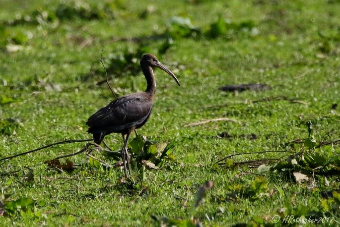 Ibis falcinelle  - Heinz Rothacher